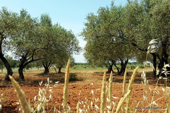 Olivenhain in Istrien