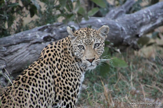 eine Leopardin in Botswana