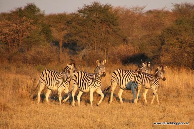 Zebraherde in Botswana